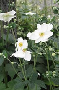 """Anemone x hybrida (Japanese Anemone) These are the graceful white and pink stands of 2-4' tall and wide plants that help the late-summer / early-autumn garden come alive after the heat of high summer. No accident that many think of this as the """"best of the fall flowers!"""" Varieties: """"Honore Jobert"""" – single white flowers with yellow eye """"September Charm"""" – pale to deep pink single flowers with yellow eye """"Whirlwind"""" – double white flowers with slightly twisted petals"""