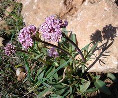 Healing Herbs, Flora, Health, Plants, Gardening, Italia, Health Care, Lawn And Garden, Plant