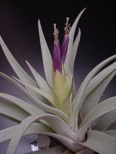 """Plant Oddities-Tillandsia harrisii-Small 3-4"""" Plants     Yet another addition to my obsession collection!"""
