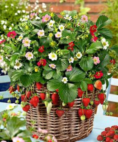 strawberry plant in basket