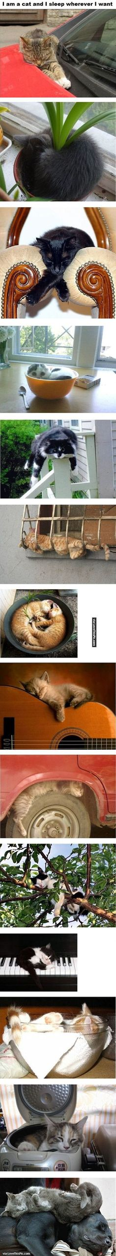I Am A Cat I Sleep Wear I Want cute animals cat cats adorable animal kittens pets kitten funny pictures funny animals funny cats