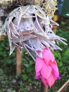A Customer's Guide To Herbal Dietary Supplements On The Net Tillandsias Raras Boiatche Bromeliario: Tillandsia Sprengeliana Exotic Plants, Exotic Flowers, Beautiful Flowers, Planting Succulents, Planting Flowers, Garden Site, Air Plants Care, Air Plant Display, Air Plant Terrarium