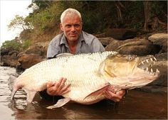 A goliath tigerfish, a giant-sized relative of the piranha, found in the Congo…