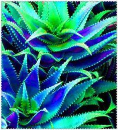 Aloe Vera - Succulent Plant - 100 seeds Succulent Bonsai, Succulent Seeds, Bonsai Plants, Cactus Plants, Edible Succulents, Planting Succulents, Planting Flowers, Flower Seeds, Flower Pots