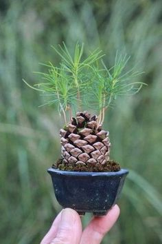 OMG!!!!!!!! ... . .I love this ... .Pine Cone + Soil + Water + Sunshine = Pine Tree
