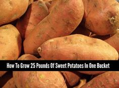 Growing Vegetables Growing vegetables in a container, like a bucket, is a perfect way to have a supply of food. You can easily grow 25 pounds of sweet potatoes in one bucket. Canning Sweet Potatoes, Growing Sweet Potatoes, Grow Potatoes, Veg Garden, Edible Garden, Garden Tips, Garden Ideas, Bucket Gardening, Container Gardening