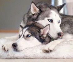 The top husky : I'm in love with you? The bottom husky : me to, can we be mates? The top husky : sure I'm prangnet already😂 Alaskan Husky, Siberian Husky Dog, Alaskan Malamute, The Animals, Cute Husky, Husky Puppy, Pomeranian Puppy, Husky Breeds, Dog Breeds