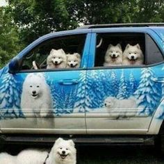 Samoyeds, that's cool.