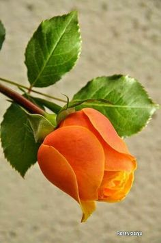 Captivating Why Rose Gardening Is So Addictive Ideas. Stupefying Why Rose Gardening Is So Addictive Ideas. Beautiful Rose Flowers, Pretty Roses, Exotic Flowers, Orange Flowers, Amazing Flowers, Yellow Roses, Red Roses, Beautiful Flowers, Photo Rose