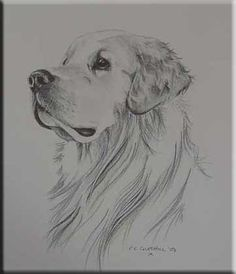 Dibujo a lapiz de golden retriever