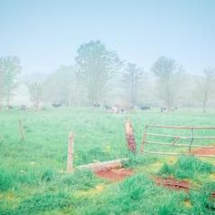 Rural country picture of foggy field with cows rustic country image.  Bring the comfort of Rustic America into your home or office.  Click to see options and other rustic home decor prints.  #foggyfieldphotography #cowsgrazinglandscapes #farmlandphotographylandscapes #countrylandscapephotographyscenery #ruralAmericaphotography