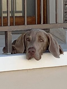 Blitz alone at Home Sometimes I am alone at home. I am watching the house very carefully and wait that my FAMILY is coming back soon – proud Blitz. New Sibling, Home Alone, One Year Old, Weimaraner, Beach Day, Elsa, Labrador Retriever, Puppies, Dogs