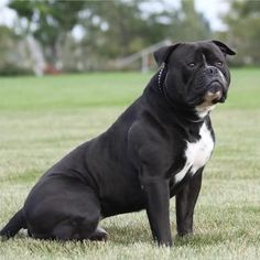 """Gaucho"" the American Bulldog."