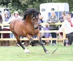 Danaway Hooch [Trevallion Hooch x Trevallion Nans Merch Sian]   Photo Archive Danaway Open Day Stallion 2013 : Rainhill Welsh Cobs