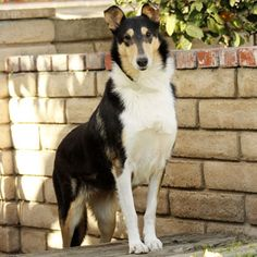 Collie (Smooth)  Buddy in a few years!