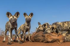 This morning we found a pack of Painted dogs verry early morning. Together with our ranger we followd them huning until they caught a warthog. When the adults left and the pups started to eat i was able to get verry close, under the guidance of our ranger. An uniek opportunity to shoot some wide-angle pictures of the most endangered predator.