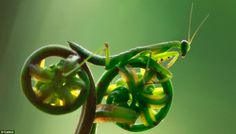 Getting tyred?: The praying mantis balances on the curled-up fern, giving the impression he is hunched over the handlebars of a rather splendid, or should we say spoketacular, green bicycle