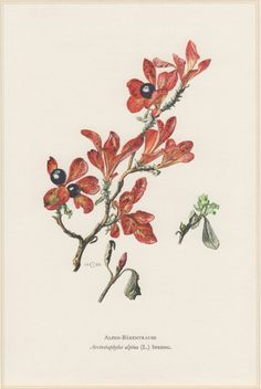 1960 Botanical Print, Arctostaphylos alpina, Alpine Bearberry, Vintage Lithograph, Botany Illustration, Home Wall Decor, Alpen-Bärentraube