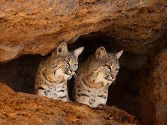 animals of arizona  | Bobcats Tucson Arizona wallpaper
