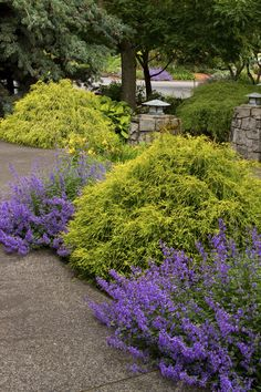 Compact, erect Conifer with interesting, thread-like needles that weep and drape over the entire shrub. Bright, golden-yellow new foliage, even in full sun. Excellent mop-headed accent plant that makes nice background border or small hedge. Evergreen.