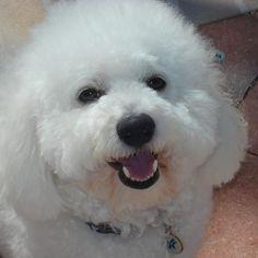 Rocco - Bichon Frise   Rover.com: Dog Boarding Marketplace