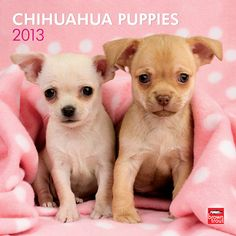 Chihuahua Puppies Wall Calendar: Before adult Chihuahuas were their already diminutive selves, they were once even smaller Chihuahua puppies. Despite their small size, these spirited dogs are rarely intimidated by larger animals, or for that matter, cameras!  http://www.calendars.com/Chihuahuas/Chihuahua-Puppies-2013-Wall-Calendar/prod201300004523/?categoryId=cat10126=cat10126#