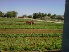 A red tractor in the vegetable field