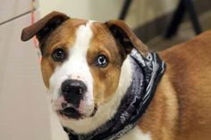 ADOPTED>NAME: Achilles  ANIMAL ID: 30555541  BREED: Boxer mix  SEX: male (neutered)  EST. AGE: 2 yr  Est Weight: 55 lbs  Health: heartworm neg  Temperament: dog friendly, people friendly.  ADDITIONAL INFO: RESCUE PULL FEE: $35  Intake date: 3/19  Available: Now