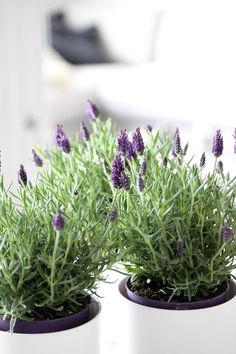 muotoseikka\ Laventelin tuoksua / Sweet lavender