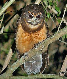 Tawny-browed Screech Owl