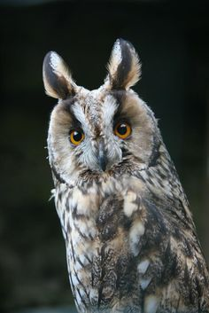 Owl photographed in Germany - Pixdaus