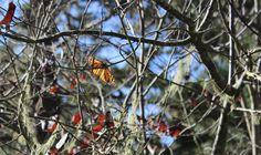Monarch Sanctuary, Pacific Grove, CA.