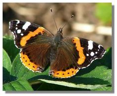 red admiral - saw one in my yard yesterday
