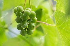 Green grapes in the rain. Stock: http://www.shutterstock.com/pic.mhtml?id=300568556 #stock #shutterstock #grapes #rain #agriculture #ブドウ #포도 #葡萄 #عنب Portfolio: http://shutterstock.com/g/svphilon