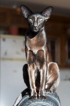 Black Sphinx Cat - stunning cat
