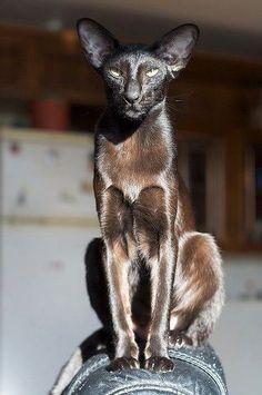 Black Sphinx Cat - stunning cat