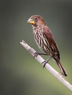 The Thick-billed Weaver - Amblyospiza albifrons, is a species of bird in the Proceidae family. This species is found in South Africa. Photo ...