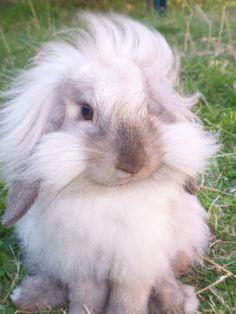 Mini Lop Lionhead Rabbits | Thread: Lionhead x mini lops - anyone else have them?