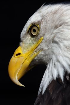 Bald Eagle - Portrait - by *cycoze