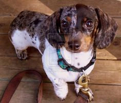 Miniature Dapple Dachshund puppy......Lilly needs a friend :)