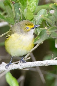 White-eyed Vireo -6507 | Flickr – Condivisione di foto!