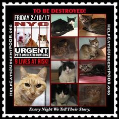 "TO BE DESTROYED 02/10/17 - - Info     Please share View tonight's list here: http://nyccats.urgentpodr.org/tbd-cats-page/.  The shelter closes at 8pm. Go to the ACC website( http:/www.nycacc.org/PublicAtRisk.htm) ASAP to adopt a PUBLIC LIST cat (noted with a ""P"" on their profile) and/or … CLICK HERE FOR ADDITIONAL…Please...-  Click for info & Current Status: http://nyccats.urgentpodr.org/to-be-destroyed-020417/"