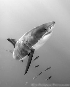 great white shark in motion, Guadalupe Island, Mexico, by Jim Patterson