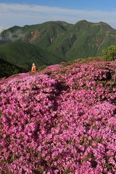 Colonies of Miyama-Kirishima in full bloom in Kuju National Park, Japan (by Takeshi Sugimoto).