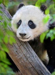The eyes of Wu by Ion Moe Panda cub Xiao Liwu makes googly eyes at his many admirers at the San Diego Zoo. Panda Love, Love Bear, Cute Panda, Zoo Animals, Animals And Pets, Cute Animals, Wild Animals, Cane Corso, Sphynx