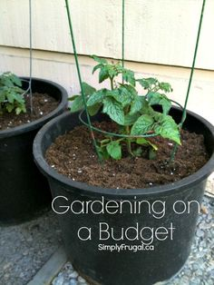 Are you wanting to get into a bit of gardening this year, but are afraid of the cost? Here are several tips for gardening on a budget!