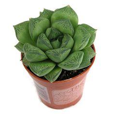 haworthia cuspidata succulent compact plant