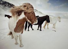 horses, ponies, pretty, snow, wind