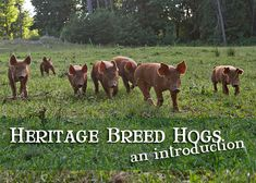 Heritage Breed Hogs: An Introduction
