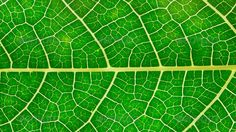 Beautiful green leaves ...  abstract, area, autumn, backdrop, background, beauty, blade, botany, bright, close-up, closeup, color, development, environment, flora, floral, flores, foliage, garden, gardening, grass, green, grow, growth, leaf, life, light, macro, material, natural, nature, pattern, photo, photosynthesis, plant, progress, pure, spring, stem, summer, texture, textured, transparent, tree, vein, vibrant, vitality, yellow